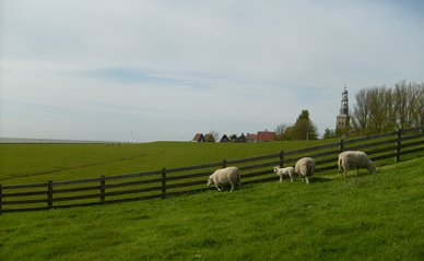 "Sheep on outer dyke of Hindeloopen"" (CC BY 2.0) by tacowitte"
