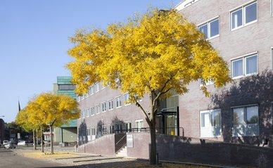 Honingbomen (Sophora Japonica) als laanbomen in herfsttooi. In een bedrijventerrein in de wijk Hoornwerk in Deventer..jpg