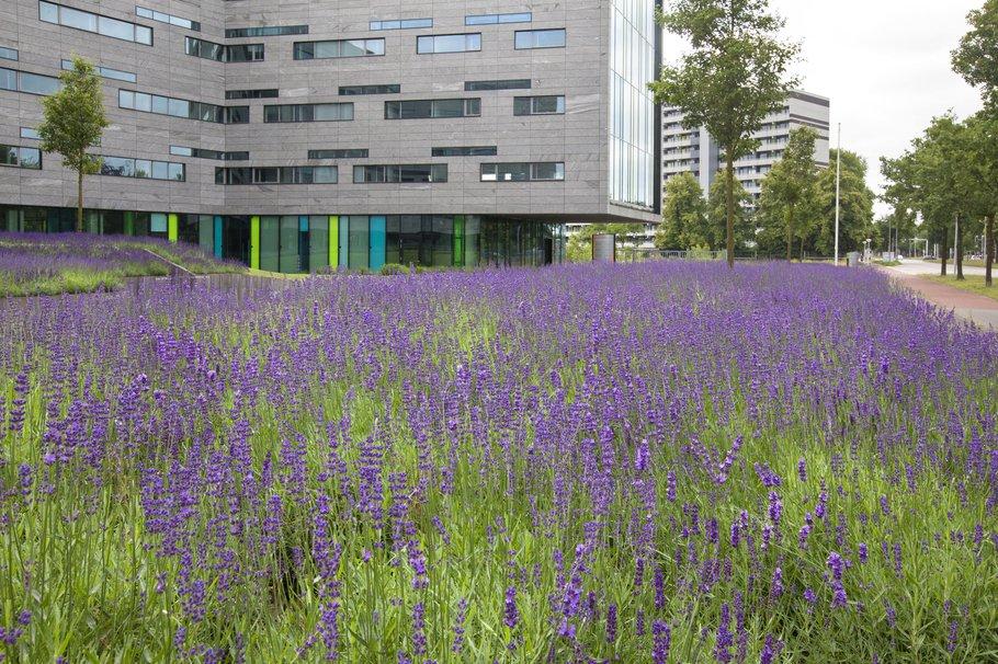 Kantoortuin met een ruime aanplant van lavendel op een bedrijventerrein in de wijk Holtenbroek in Zwolle.-min.jpg