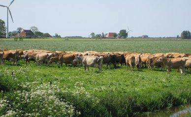 "Koeien bij biologische boerderij"" (CC BY 2.0) by MJ Klaver"