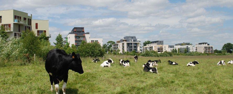 Veeteelt koeien platteland veld stad gebouwen - Pixabay, 2020