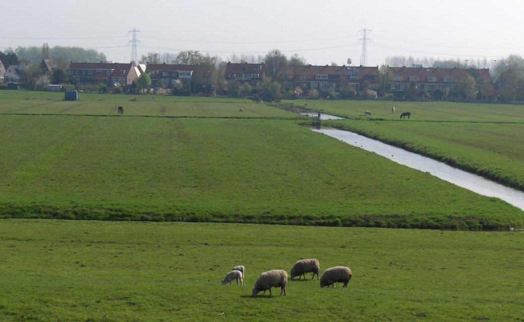 foto danielle van drive schapen groen