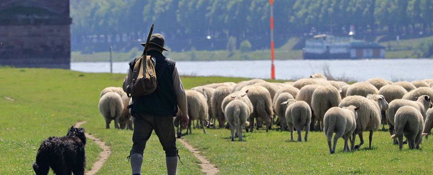 schapen herder