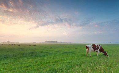 Leeg weiland met een koe