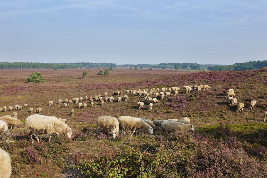 Noord-Veluwe schapen