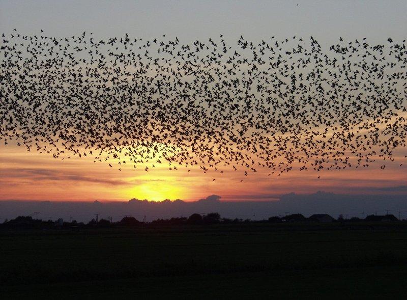zelforganisatie bij vogels